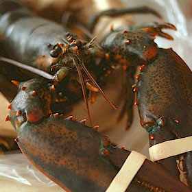 1 lb Live Maine Lobsters ( 6 Pack )