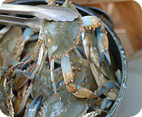 One Dozen Live Select Maryland Blue Crabs ( Male )