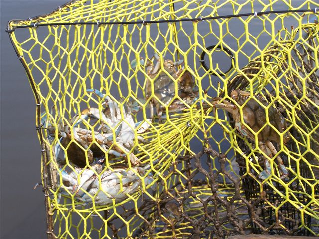Crabs in Net